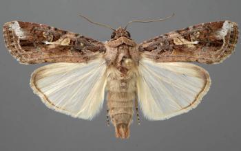 Spodoptera Frugiperda ( Fall Army worm)
